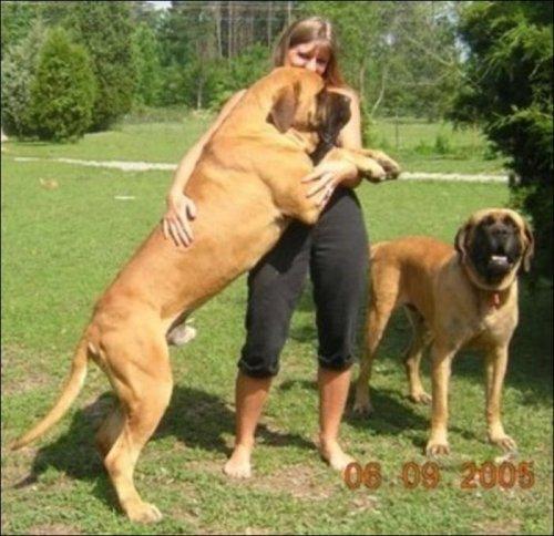 Собачки размером с теленка!