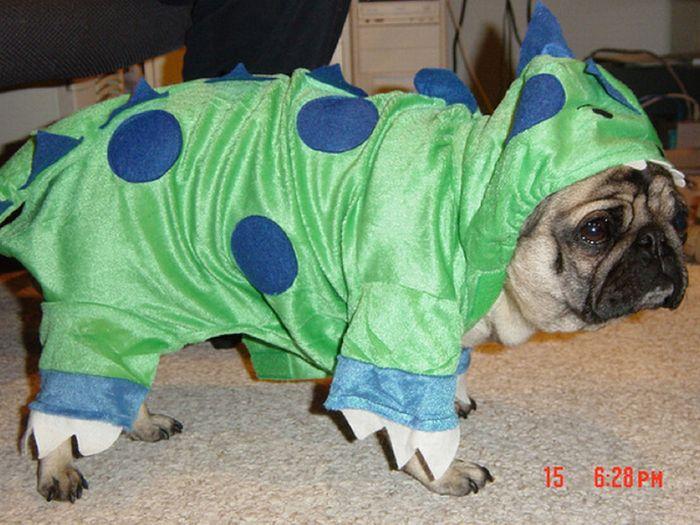 Мопс фото собаки цена описание породы характер видео