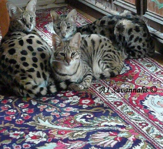 Кошки породы Ашера